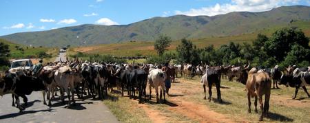 Zebuen drives i flokker på 20-50 dyr mot markedet i Ambalavao