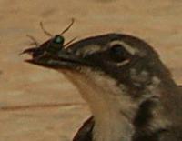 Fluenes herre