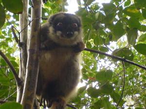 Lemurer ser ut som kosedyr