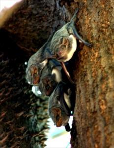 """Vanlige"" flaggermus. Mauritian tomb bat"