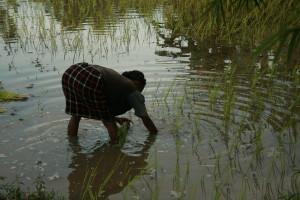 Nå plantes ny ris på feltene